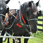 Duke and Doc Horse at Ocala Horse Country Carriage Co