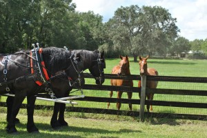 Duke and Doc with Visiting with Yearlings