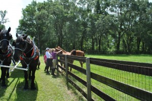 Horse Carriage Tours Petting Horses